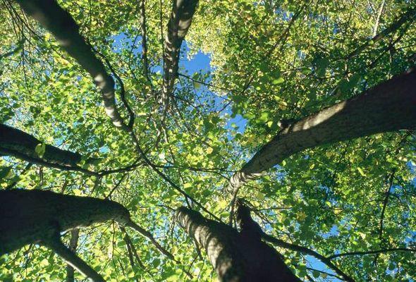 Stockausgeschlagene Linden(von unten)