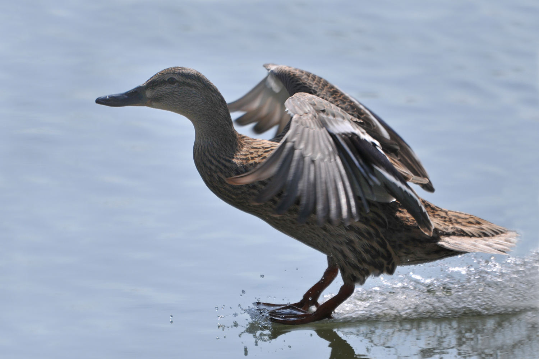 Stockente; Hobby: Barfuß-Wasserski