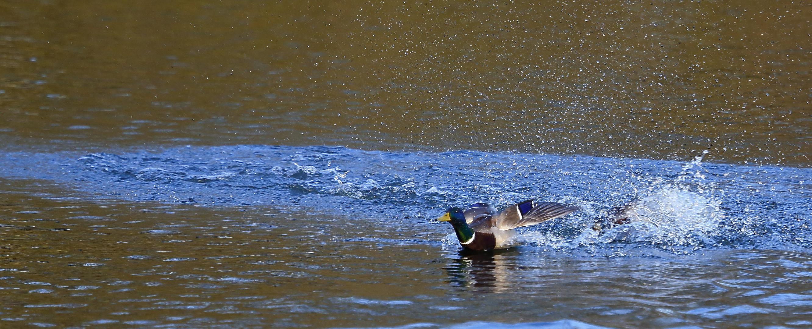 Stockenten Action auf dem Bruchsee