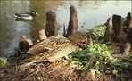 Stockenten am Teich