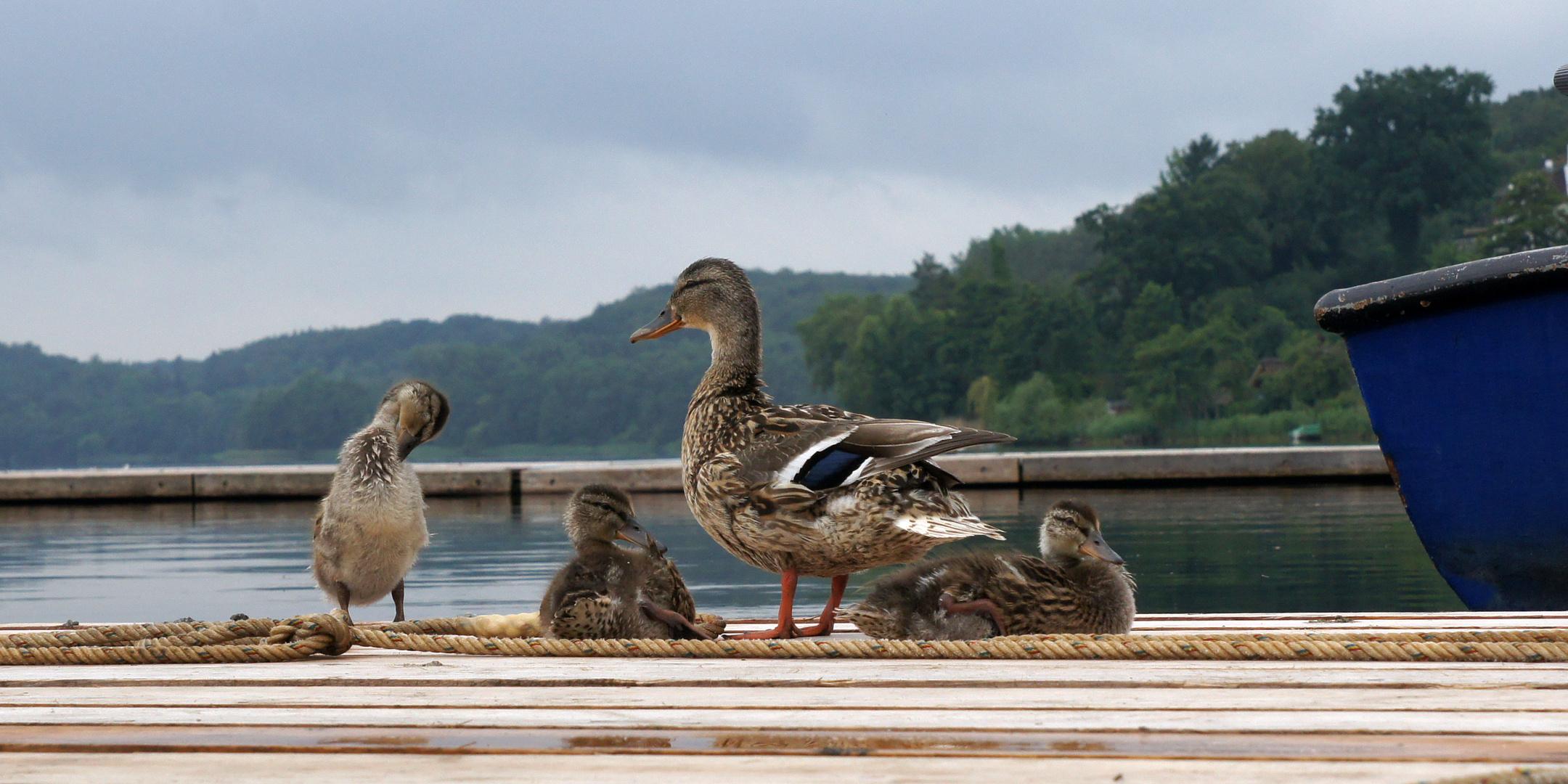 Stockentenfamilie