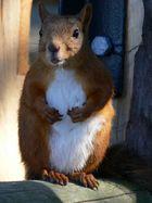 Stockholm´s Eichhörnchen