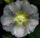 Stockrose im Regen