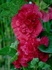 Stockrose in Rot