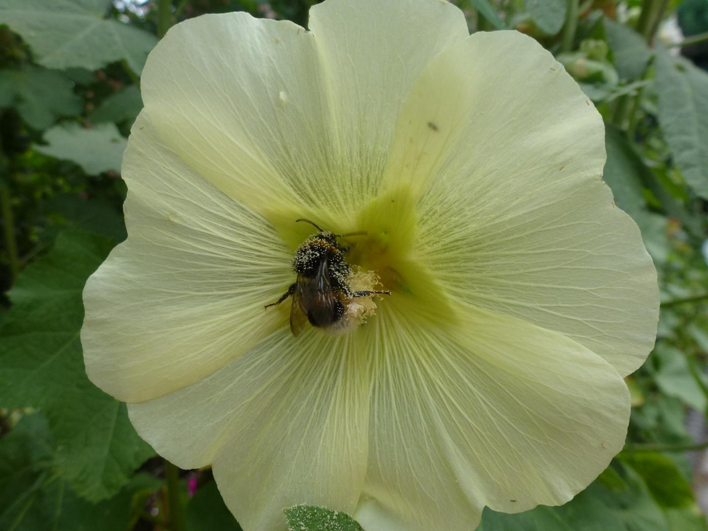 Stockrose mit Biene
