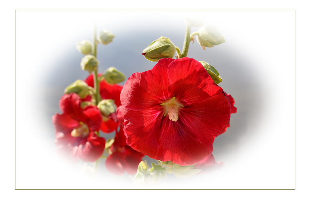 stockrosen foto bild pflanzen pilze flechten bl ten kleinpflanzen rosen bilder. Black Bedroom Furniture Sets. Home Design Ideas