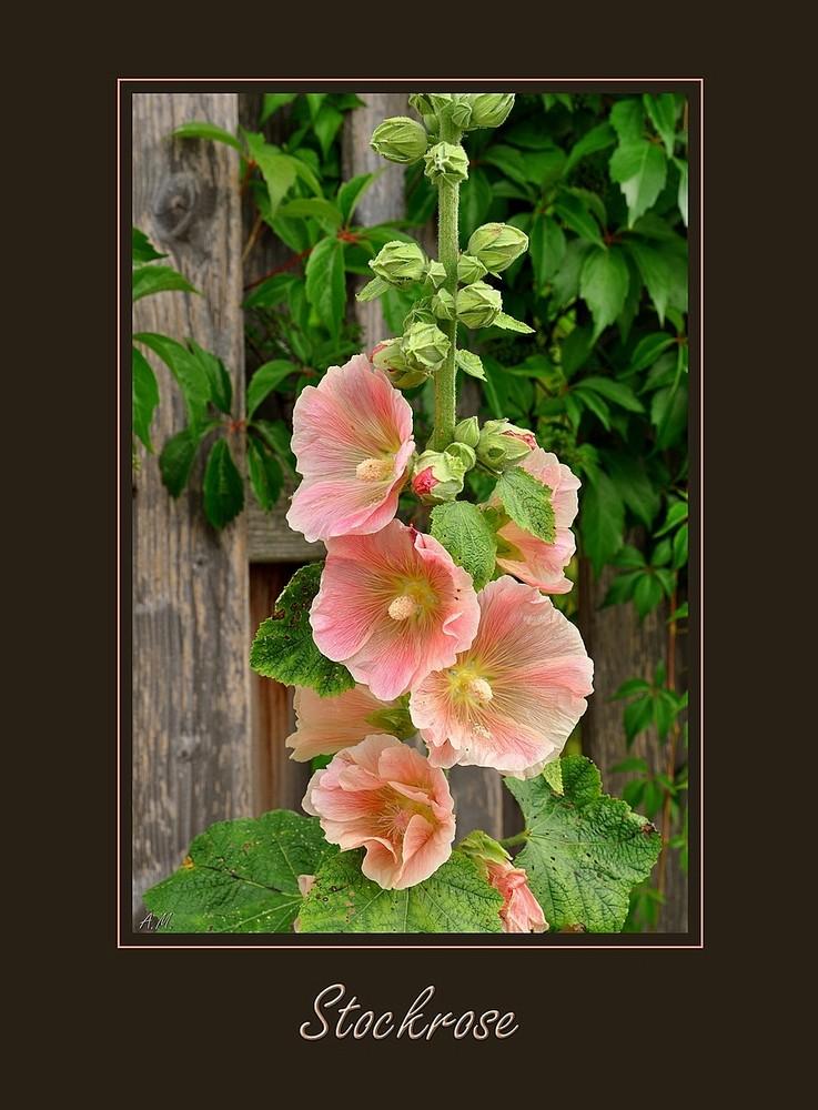 stockrosen foto bild pflanzen pilze flechten bl ten kleinpflanzen gartenpflanzen und. Black Bedroom Furniture Sets. Home Design Ideas