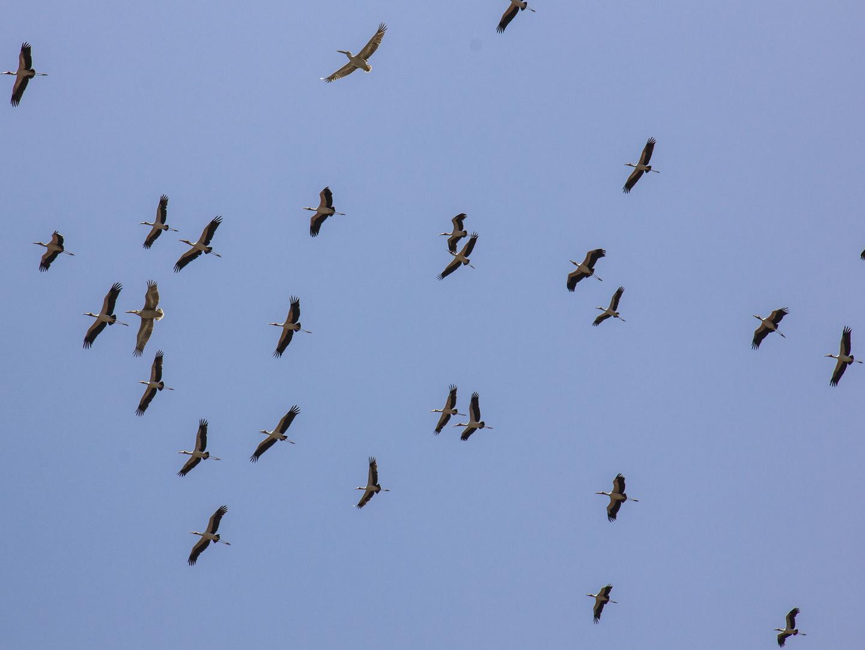 Störche sammeln sich für den Heimflug