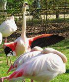 Stolz wie ein Flamingo