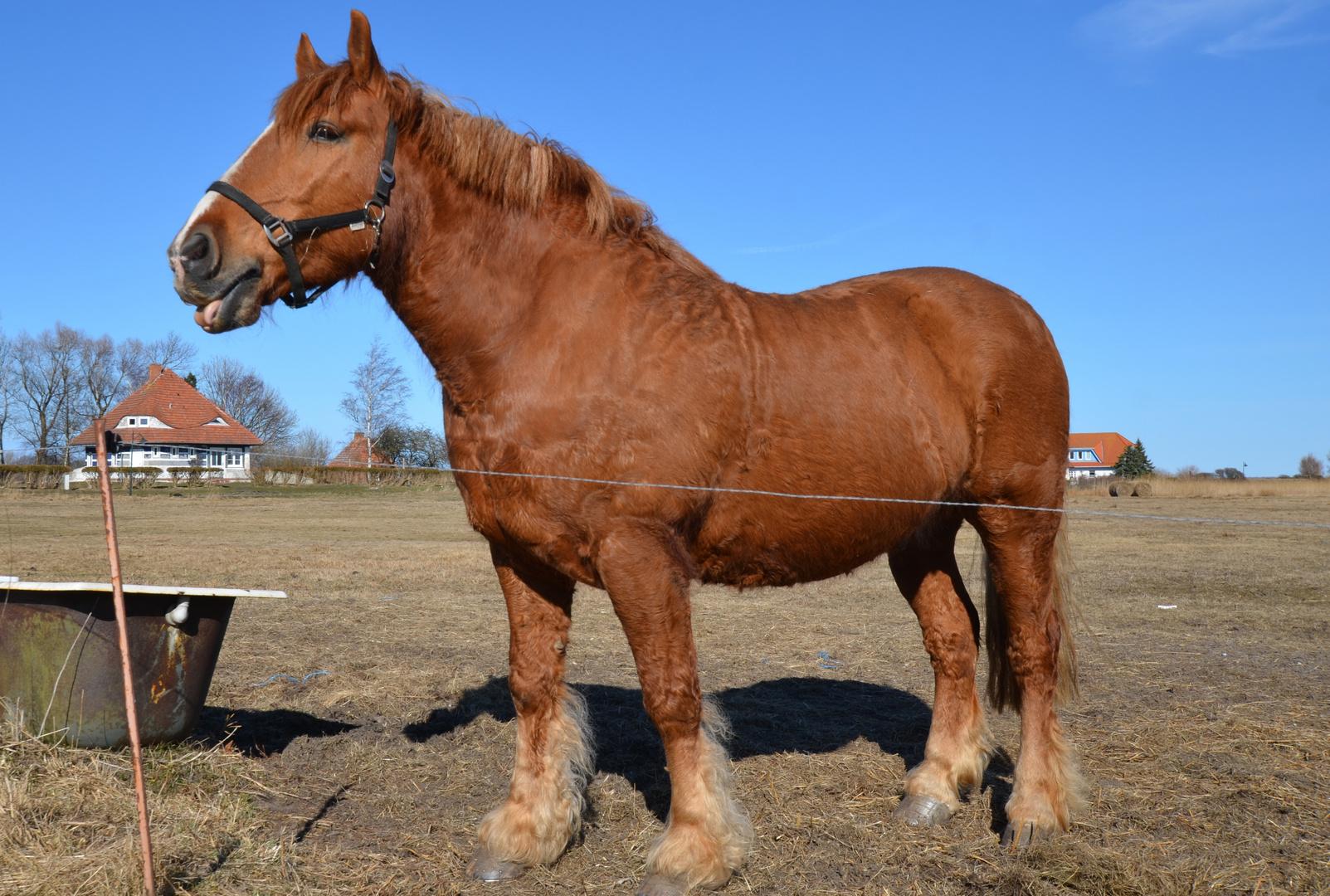 Stolz zeigt sich das Pferd aus Vitte