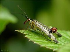 Stolz zeigte der Skorpionfliegenmann mir seinen Stachel....
