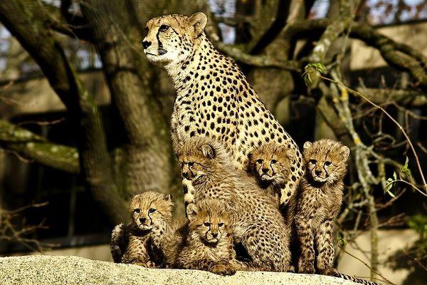 Stolze Geparden Mama