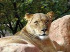 Stolze Löwin