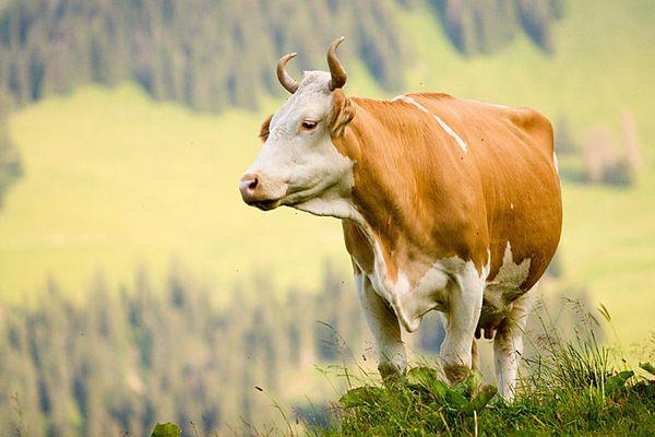 Stolze Simmentaler Kuh