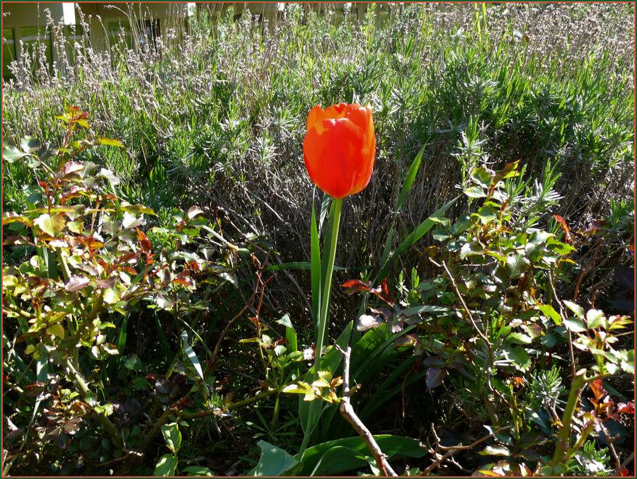 Stolze Tulpe in ungewohnter Umgebung