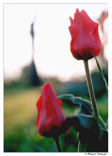 Stolze Tulpen