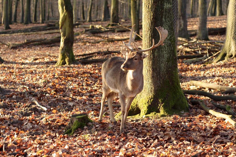 Stolzer Hirsch am frühen Nachmittag im sonnigen Wald
