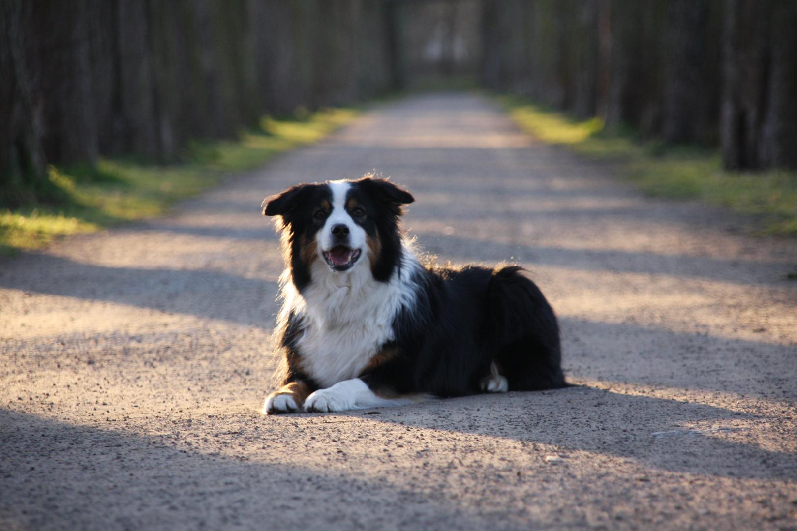 Stolzer Hund
