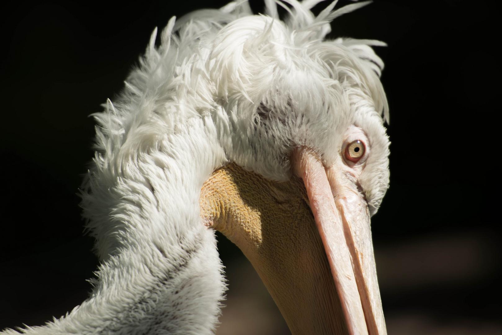 Stolzer Pelikan