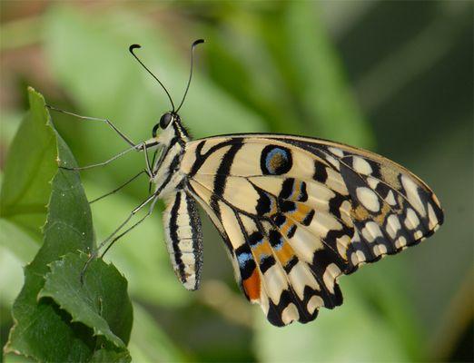 Stolzer Schmetterling