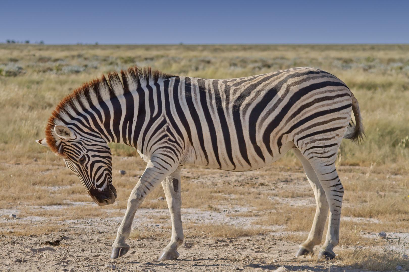 Stolzes Zebra