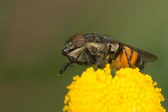 Stomorhina lunata_2 (Calliphoridae)