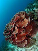 Stone Coral (Turbinaria mesenterina)
