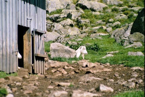 Stone-Goat