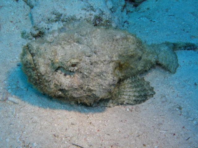 stonefisch