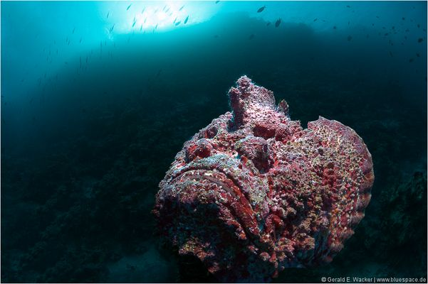 ~ Stonefish at dawn ~