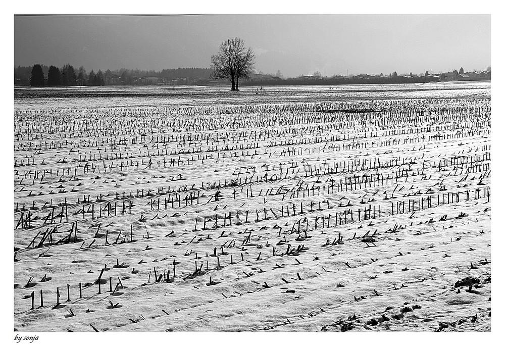 Stoppelfeld- immer noch nicht zugedeckt vom Schnee