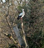 Storch -2-