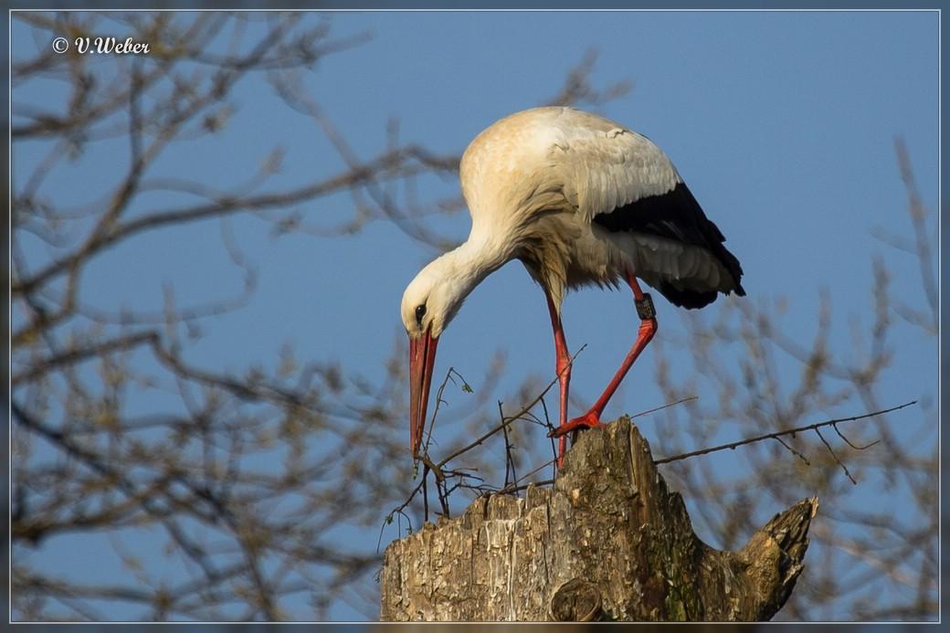 Storch am Nest bauen