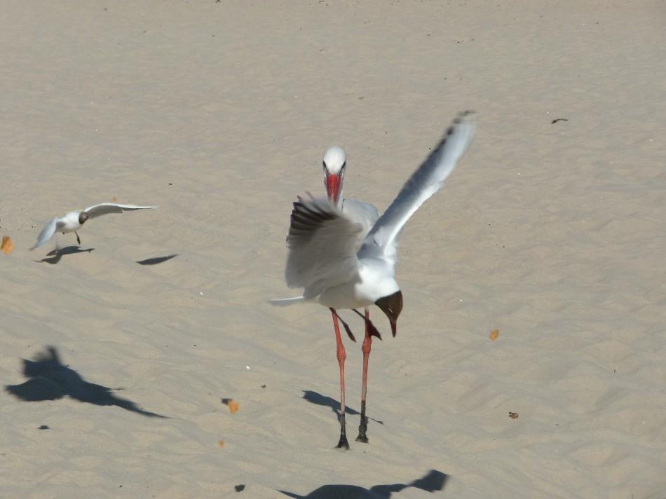 Storch am Strand von Wyk auf Föhr