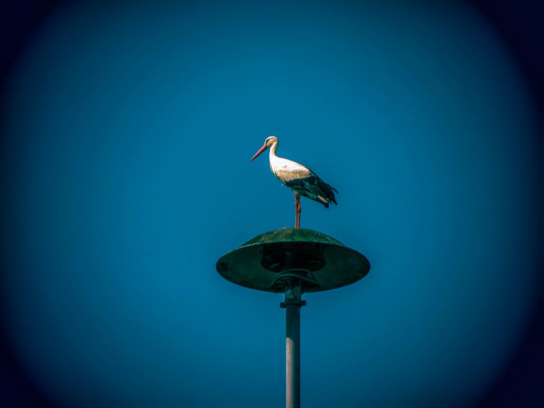 Storch auf Sirene