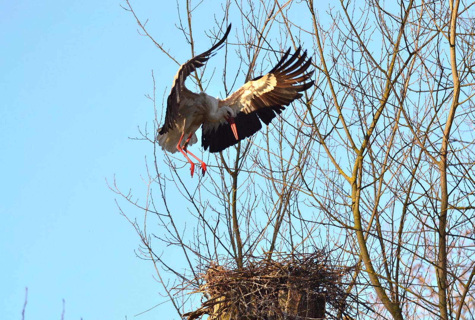 Storch bei der Landung in seinem Nest