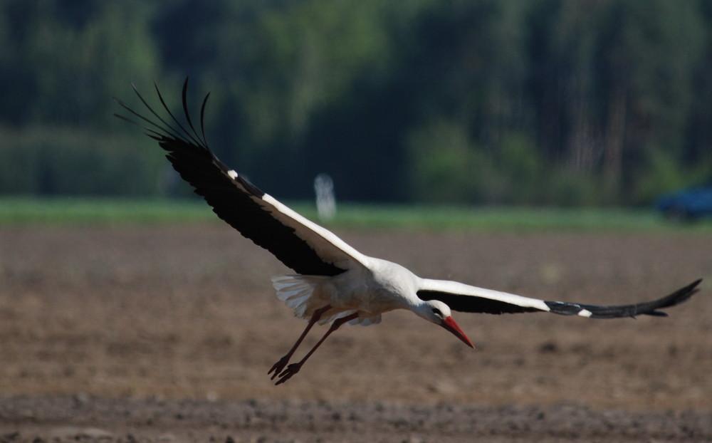 Storch beim Abflug