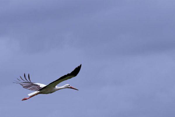 Storch beim Abheben