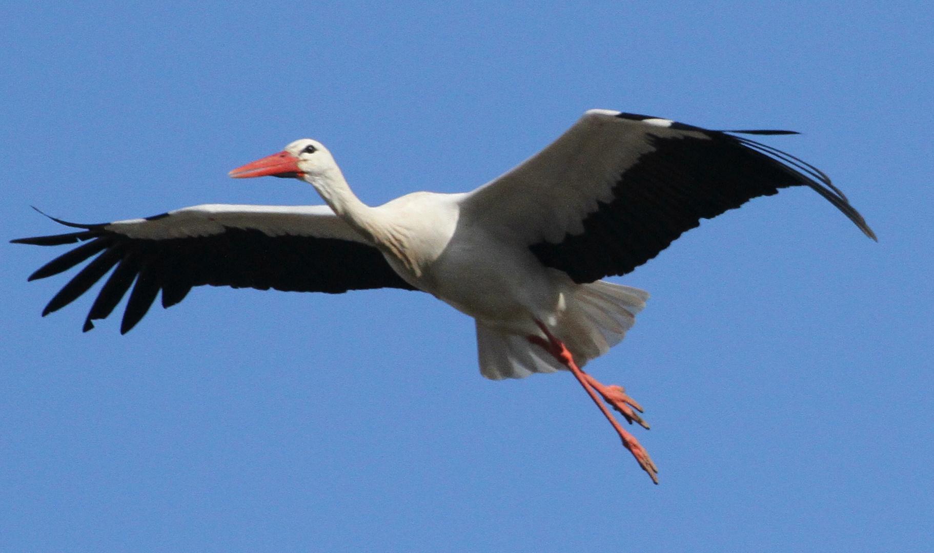 Storch beim Anflug ins Nest