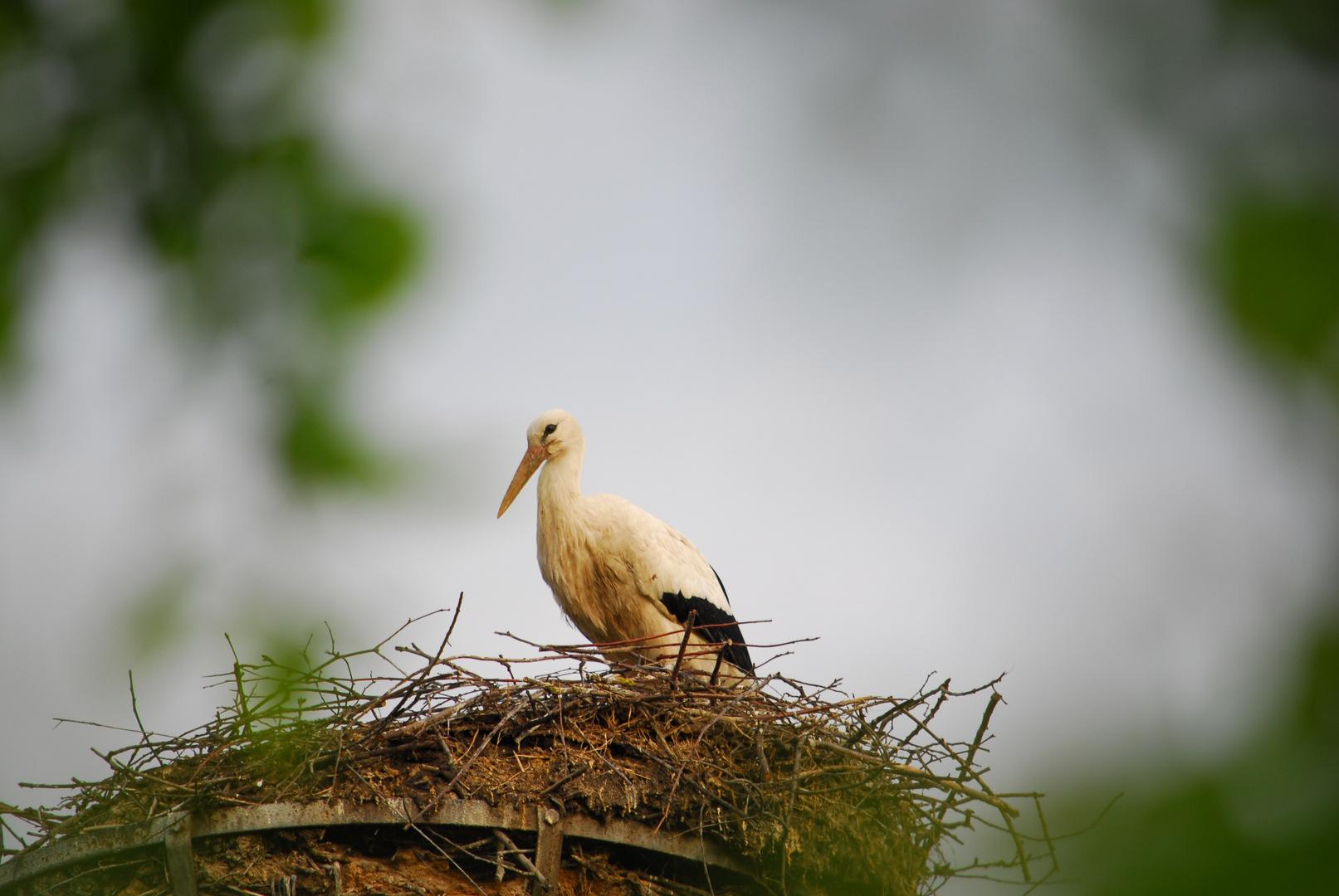 Storch beim Brüten