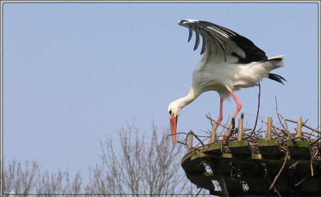 Storch beim Nestbau