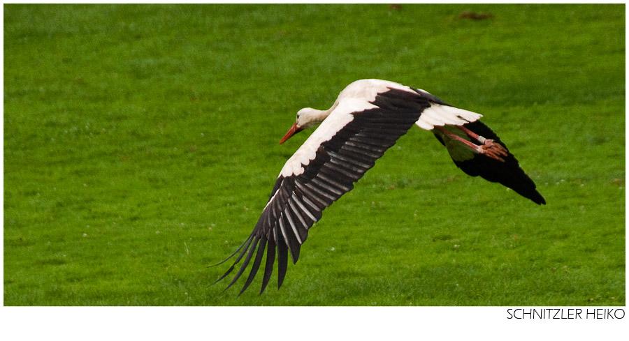 Storch - Flug