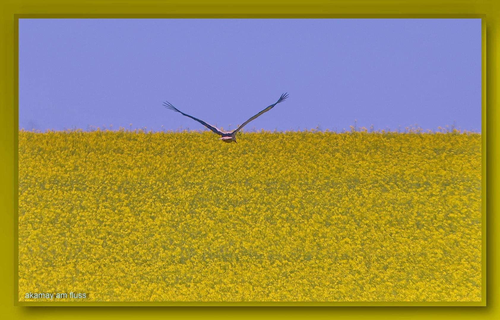 Storch - Flug über das Rapsfeld