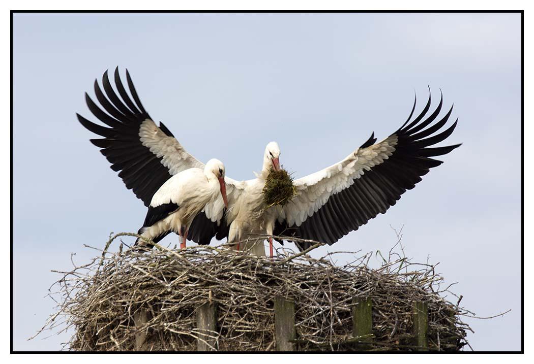 Storch im Anflug mit Nistmatererial