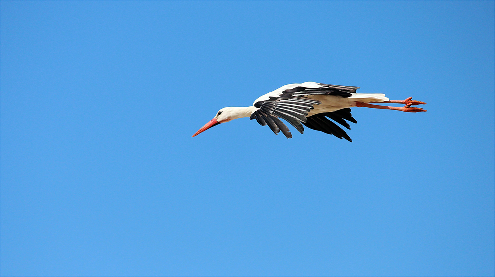 """ Storch im Flug "" ( 3 )"