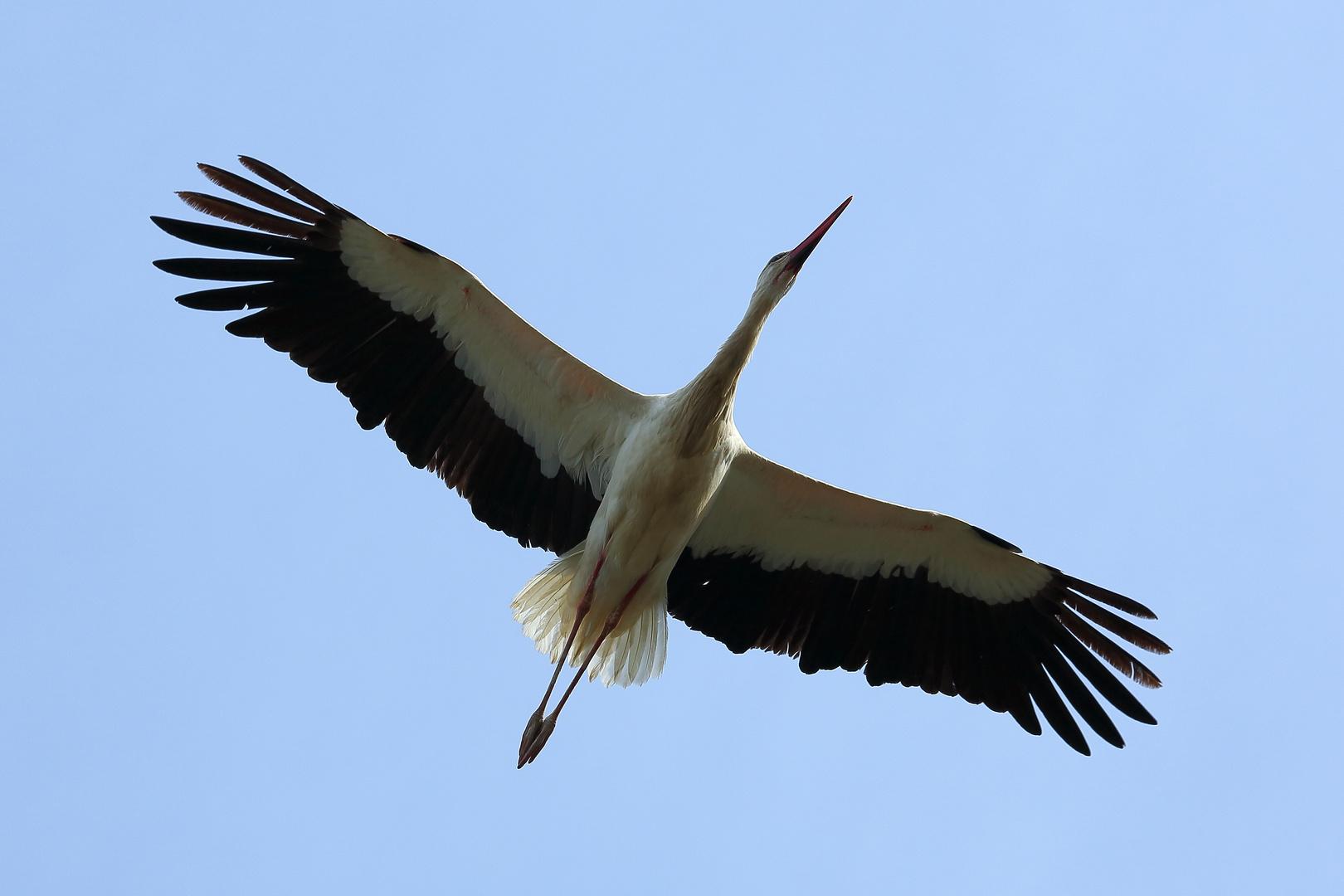 Storch im Luisenpark Mannheim (II)