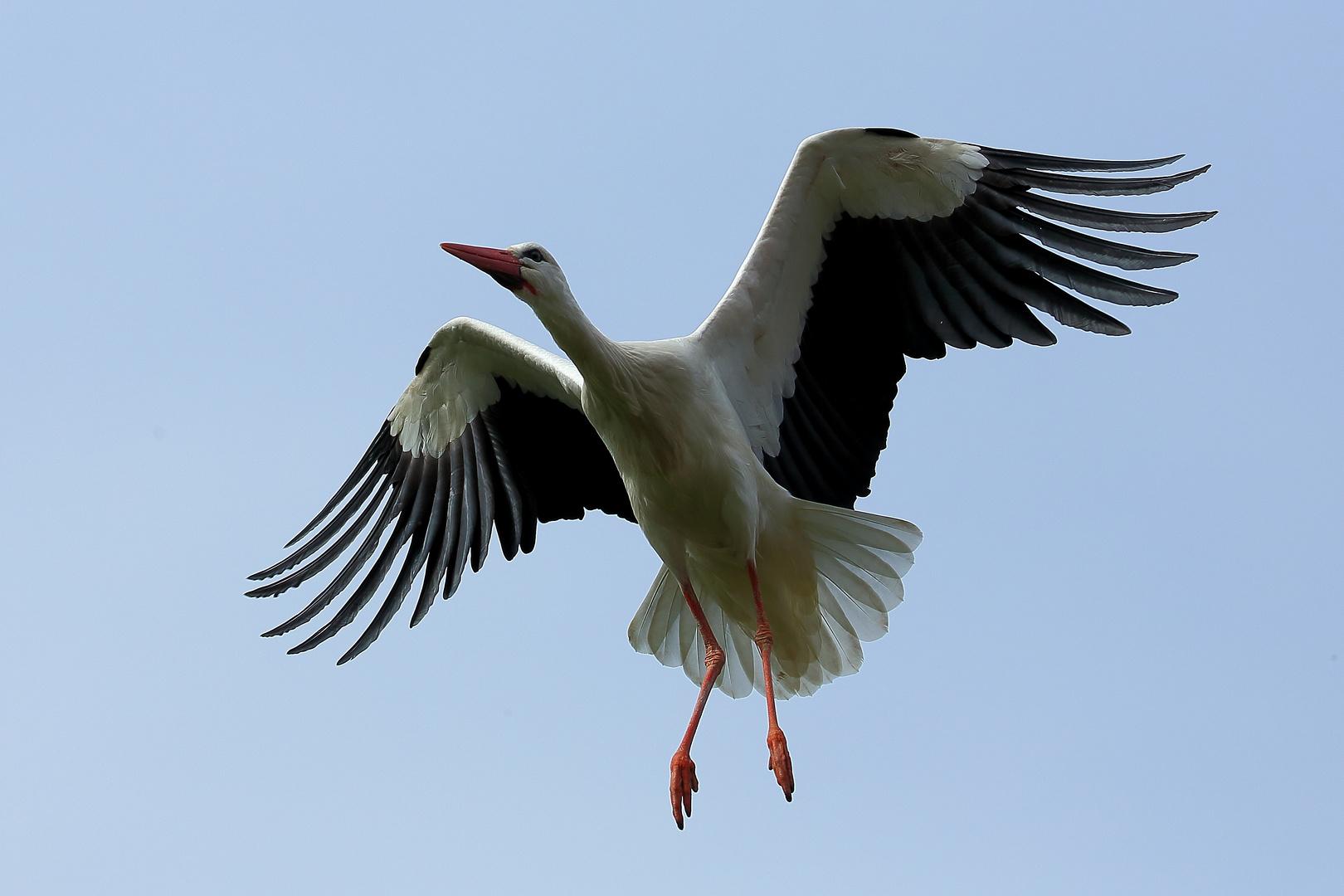 Storch im Luisenpark Mannheim (IV)