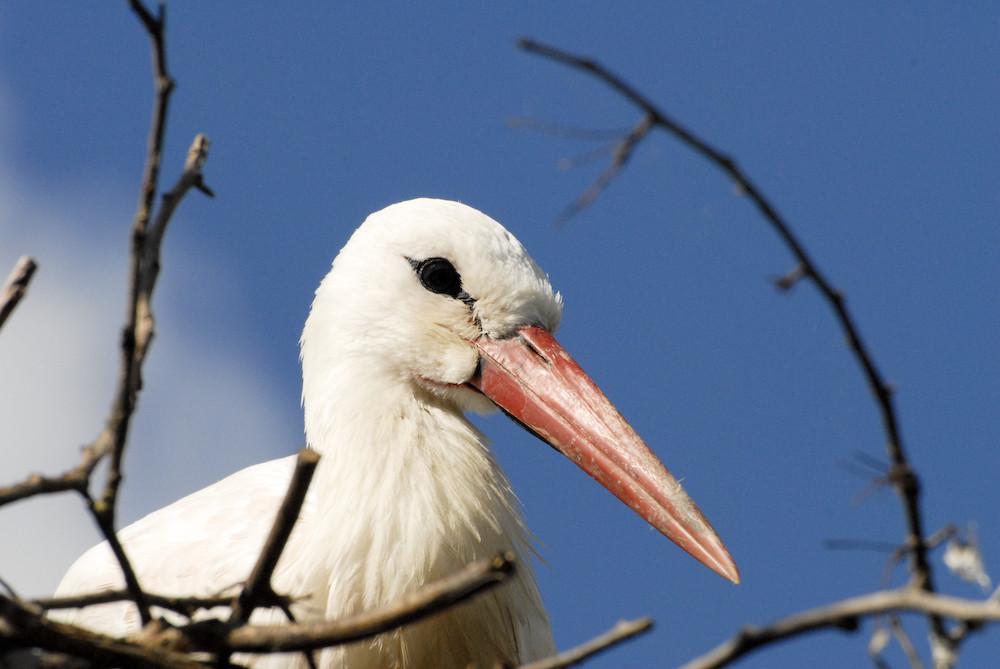 Storch im Nest ...