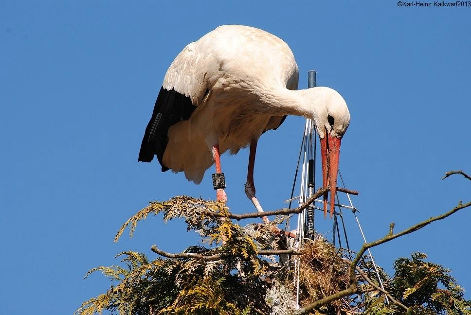 Storch im Park vom Prickingshof/Dülmen