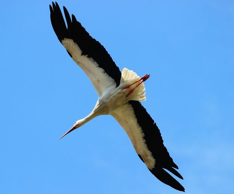 Storch im Sturzflug